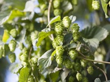 Hop Plant with Buds (Humulus Lupos) Photographic Print by Martina Schindler