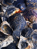 Oyster Shells Photographic Print by Hermann Mock
