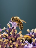 A Bee on a Lavender Flower Photographic Print by Chris Schäfer
