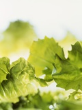 Lettuce Leaves Photographic Print by Stefan Oberschelp
