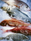 Five Different Fish on Crushed Ice Photographic Print by Stefan Oberschelp