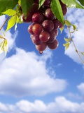 Red Wine Dripping from Grapes Against Blue Sky Photographic Print by Paul Williams