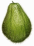 A Prickly Chayote Photographic Print by Enrique Chavarria