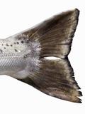 Tail Fin of a Tasmanian Salmon Fotografisk tryk af Greg Elms