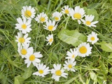 Marguerites Forming a Heart in Grass Photographic Print
