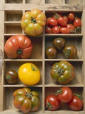 Various Types of Tomatoes in Type Case Photographic Print