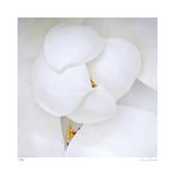 Magnolia Flower Abstract No 236 Edition limitée par Shams Rasheed