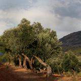 Olive trees, Horta de Sant Joan, Terra Alta, Tarragona, Spain Photographic Print by Manuel Cohen