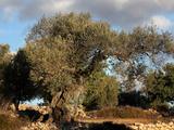 Olive tree, Ulldecona valley, Tarragona, Spain Photographic Print by Manuel Cohen