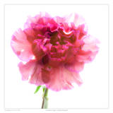 Carnation Purple Prints by Richard Reynolds
