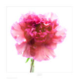 Carnation Purple Posters by Richard Reynolds