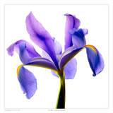 Blu iris Stampe di Richard Reynolds
