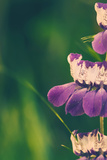 Collinsia Portrait Photographic Print by Vincent James
