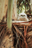 Baby Great Horned Owl in Eucalyptus Photographic Print by Vincent James