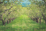 Pear Trees at Hood River Valley, Oregon Photographic Print by Vincent James