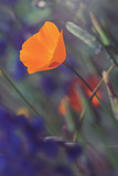 Isolated Poppy Photographic Print by Vincent James
