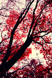 Fall Japanese Maples, Oakland Photographic Print by Vincent James