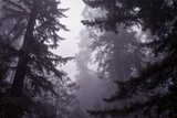 Redwood Morning Mood Photographic Print by Vincent James