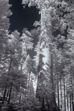 In the Grove - Infrared, Mariposa Photographic Print by Vincent James