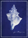 Conch Shell Prints