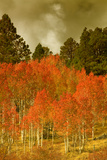 Portrait of Aspens in Autumn Fotografie-Druck von Vincent James