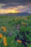 Across the Flower Field at Sunrise, Rowena Plateau Photographic Print by Vincent James
