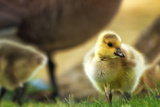 Gosling at Golden Gate Park Photographic Print by Vincent James