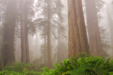 Misty Morning Redwoods at Lady Bird Johnson Grove Photographic Print by Vincent James