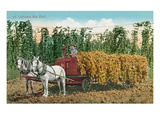 Hops Harvest in California Prints