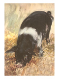 Young Chester White Pig Art