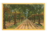 Date Palms, Indio, California Posters