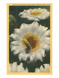 Saguaro Cactus Blossoms Poster