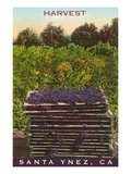 Grape Harvest, Santa Ynez, California Prints