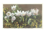 Anemone, State Flower of South Dakota Affiche
