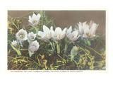 Anemone, State Flower of South Dakota Print