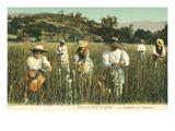 Tuberose Harvest, Cote d'Azur, France Posters