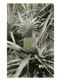 Pineapple Plant Posters