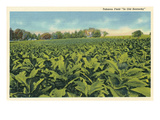 Tobacco Field, Kentucky Posters