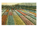 Hyacinth Garden, Holland Posters