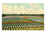Hyacinth Fields, Holland Prints
