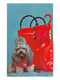 Miniature Poodle by Plastic Bag Print