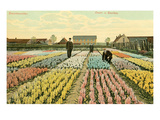 Hyacinth Garden, Haarlem, Holland Posters