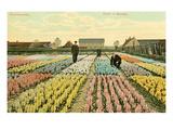 Hyacinth Garden, Haarlem, Holland Plakát