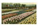 Hyacinth Fields, Holland Posters