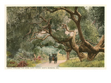 Oak Trees, Hope Ranch, Santa Barbara, California Prints