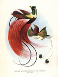 Red Bird-Of-Paradise Impression giclée