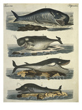 Whale Species Print