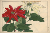 Crimson and White Poinsettia Giclee Print
