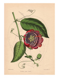 Winged-Stem Passion Flower with Crimson, Purple and White Flowers Prints by C.T. Rosenberg