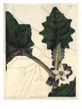 Angular-Leaved Downy Solanum or Naranjilla Art by William Hooker